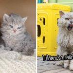 18 ภาพ Selkirk Rex แมวขนหยิก ที่มาพร้อมความน่ารักอันโดดเด่น จนได้ฉายาว่าแมวพุดเดิ้ล
