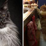 """20 ภาพ """"แมวเมนคูน"""" ที่ไม่ได้มีดีแค่ตัวโต แต่มีความสง่างามสมกับเป็นเจ้านายที่แท้จริงของมนุษย์"""