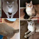 """รวมภาพ """"อดีตแมวอ้วน"""" มุ่งมั่นลดน้ำหนักเพื่อสุขภาพ แม้ไม่ง่ายแต่พวกมันก็ทำจนสำเร็จ"""