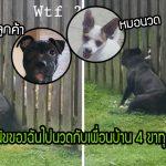 """นุ้งหมาชอบการนวดมาก มันจึงไปนั่งชิดรั้วทุกวัน เพื่อให้ """"เพื่อนบ้าน 4 ขา"""" นวดให้"""