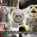 """""""Polly"""" แมวป่าพัลลัสผู้น่ารัก ชอบเอามือแตะกับผู้ดูแลคนโปรด เพื่ออ้อนขอขนมจากเขา"""