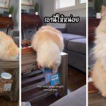Blake แมวหน้านิ่งขออาหารโดยการสะกิดเพียงนิด จ้องตาอีกหน่อย ทำทาสแมวทั่วโลกตกหลุมรัก