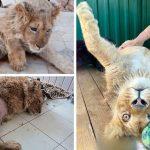 ลูกสิงโตถูกจับหักขาและถูกบังคับให้ถ่ายรูปกับนักท่องเที่ยว จนร่างกายทรุดปางตาย