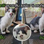 """""""พี่ชาลี"""" นุ้งแมวขาสั้นผู้มีความสูงเพียง 16 ซม. ทำให้ดูเป็นแมวเด็ก ทั้งที่โตเต็มวัยแล้ว"""
