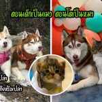 """""""ลูกแมวกำพร้า"""" ถูกเลี้ยงดูโดยแก๊งฮัสกี้ เมื่อโตขึ้นมันจึงคิดว่าตัวเองเป็นหมามากกว่าแมว"""