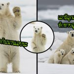 หมีขั้วโลกโบกมือทักทายช่างภาพ หลังไม่ได้เจอมนุษย์นาน 4 เดือน เนื่องจากการล็อกดาวน์