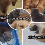 โกลเด้นแสนดีคอยดูแลเพื่อนเหมียวที่เพิ่งคลอดลูก แถมยังเป็นพี่เลี้ยงให้ลูกแมวด้วย